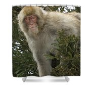 Japanese Macaque Shower Curtain