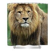 Lion Dafrique Panthera Leo Shower Curtain
