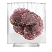 Brain With Blood Supply Shower Curtain