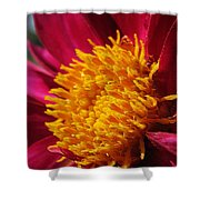Dahlia From The Showpiece Mix Shower Curtain