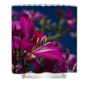 Bauhinia Purpurea - Hawaiian Orchid Tree Shower Curtain