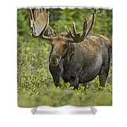 Bull Moose In Velvet  Shower Curtain