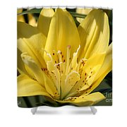 Double Asiatic Lily Named Fata Morgana Shower Curtain