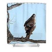 Immature Bald Eagle Shower Curtain