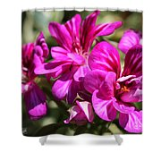 Ivy Geranium Named Contessa Purple Bicolor Shower Curtain