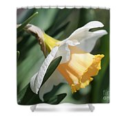 Large-cupped Daffodil Named Mrs. R.o. Backhouse Shower Curtain