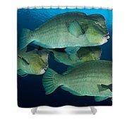 Large School Of Bumphead Parrotfish Shower Curtain