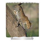 Leopard Panthera Pardus On Tree, Ndutu Shower Curtain