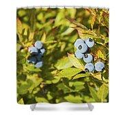 Ripe Maine Low Bush Wild Blueberries Shower Curtain