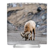 Rocky Mountain Big Horned Sheep Shower Curtain