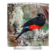 Scarlet-bellied Mountain-tanager Shower Curtain