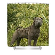 Shar Pei Dog Shower Curtain