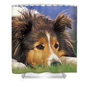 Shetland Sheepdog Shower Curtain