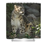 Snow Leopard On The Prowl Shower Curtain