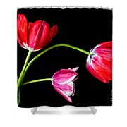 3 Tulips - 213 Shower Curtain