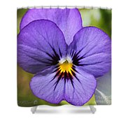 Viola Named Sorbet Blue Heaven Jump-up Shower Curtain