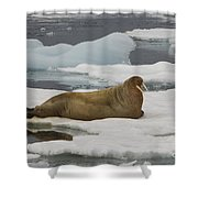 Walrus Resting On Ice Floe Shower Curtain