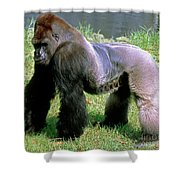 Western Lowland Gorilla Silverback Shower Curtain