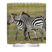 Zebra Males Fighting Shower Curtain