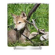 Gray Wolf Pup Shower Curtain