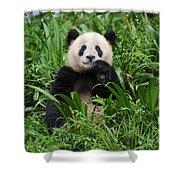 Giant Panda Shower Curtain