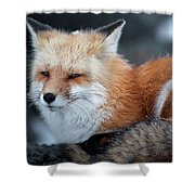 A Red Fox  On The Summit Of Mt Shower Curtain