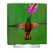 Chestnut-breasted Coronet Shower Curtain