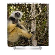 Diademed Sifaka Madagascar Shower Curtain