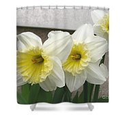 Large-cupped Daffodil Named Ice Follies Shower Curtain