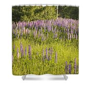 Maine Wild Lupine Flowers Shower Curtain