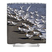 Royal Terns On The Beach At Indialantic In Florida Shower Curtain