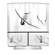Ruby-throated Hummingbird - Immature Female - Black And White - Archilochus Colubris  Shower Curtain