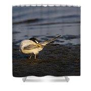 Sandwich Tern Shower Curtain