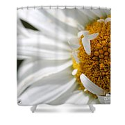 Shasta Daisy Named Paladin Shower Curtain