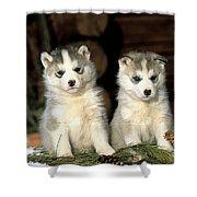 Siberian Husky Puppies Shower Curtain