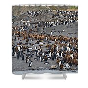 King Penguins Shower Curtain