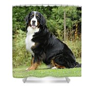 Bernese Mountain Dog Shower Curtain