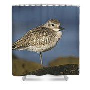 Black-bellied Plover Shower Curtain