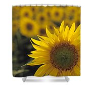 Close-up Of Sunflowers In A Field Shower Curtain