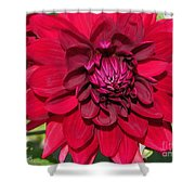Dahlia Named Nuit D'ete Shower Curtain