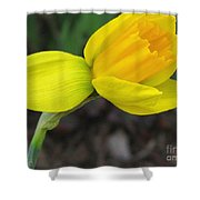 Dwarf Cyclamineus Daffodil Named Jet Fire Shower Curtain