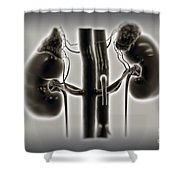 Kidneys And Adrenal Glands Shower Curtain