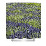Lavendar Field Rows Of White And Purple Flowers Shower Curtain
