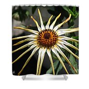 Osteospermum Named African Moon Shower Curtain