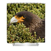 Striated Caracara Shower Curtain