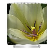 Tulip Named Perles De Printemp Shower Curtain