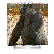 Western Lowland Gorilla Male Shower Curtain
