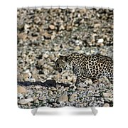 Arabian Leopard Panthera Pardus Shower Curtain