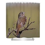 Fox Sparrow Shower Curtain