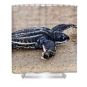 Leatherback Sea Turtle Hatchling Amelia Island Florida Shower Curtain